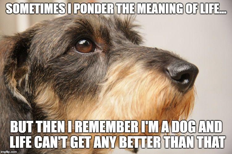 pondering dachshund meme
