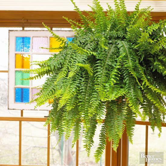 24 Of The Easiest Houseplants You Can Grow Boston Ferns 400 x 300