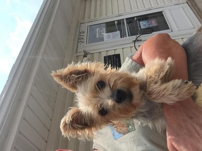 "Meet Sweet Sherry Black Berry Wine ""Sherry"", a Petfinder adoptable Yorkshire Terrier Yorkie Dog 