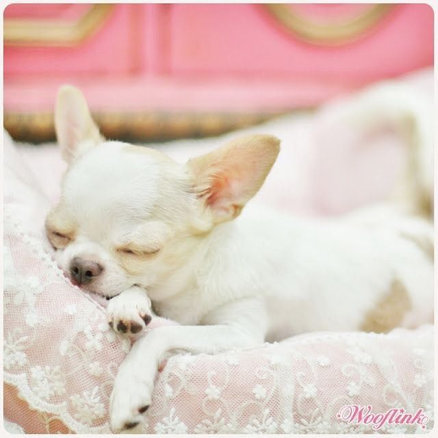Goodnight All Goodnight Chihuahua Dogsofinstagram
