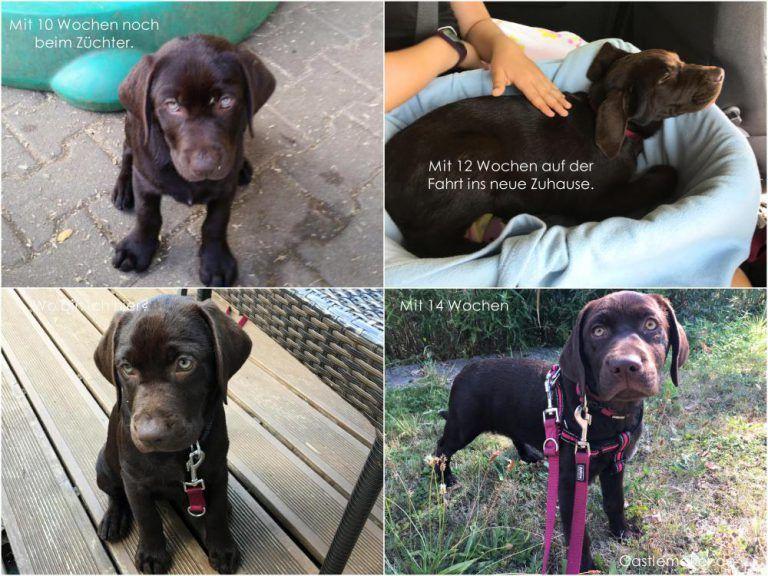 Ein Welpe Zieht Ein Die Ersten Wochen Erstausstattung Erfahrungen Mehr Castlemaker Welpen Labrador Hunde Welpen