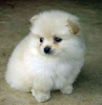 Pomeranian Poodles Mix Puppies Pictures Djur