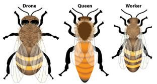 Meet The Three Kinds Of Honey Bees In A Hive Bee Types Of Honey Bees Drone Bee