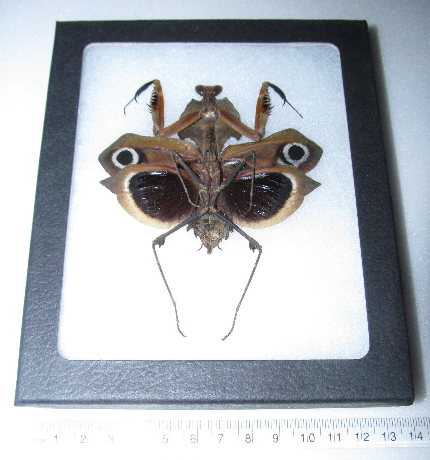 REAL BLACK DEATH Mantis Dark Form Verso Framed Insect | Cool Stuff ...