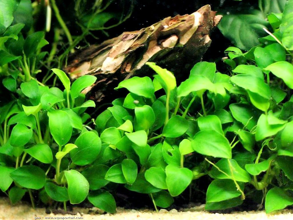 Oxygenating plant /… nana Tropical aquarium plants Anubias barteri var