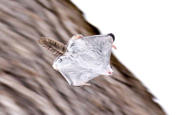 Esquilos Voadores Do Japão E Da Sibéria São Os Animais Mais Fofos Da Terra