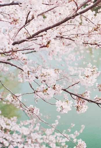Blossoms Flowering Cherry Tree Blossom Trees Beautiful Flowers