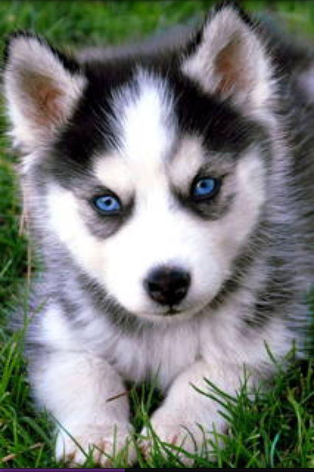 Blue Eyed Husky Cute Husky Puppies Husky Puppy Pomeranian