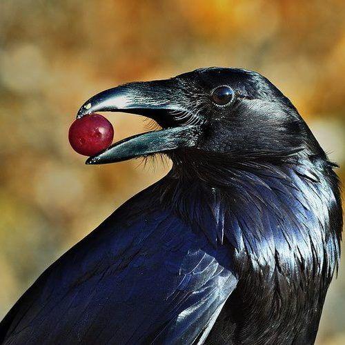 Northern raven - Corvus Corax - (un)common raven by Tom Spross