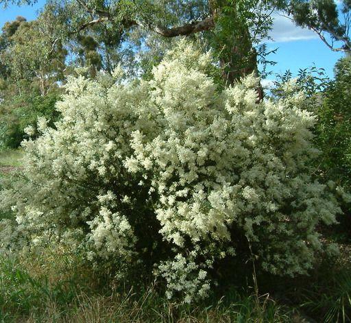 Bursaria spinosa dense heads of small white fragrant flowers in bursaria spinosa dense heads of small white fragrant flowers in summer very hardy shrub mightylinksfo