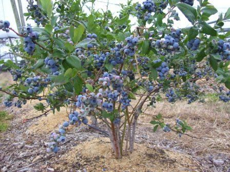 Blueberry Bushes To Intersperse With The Lavender On The Side Of