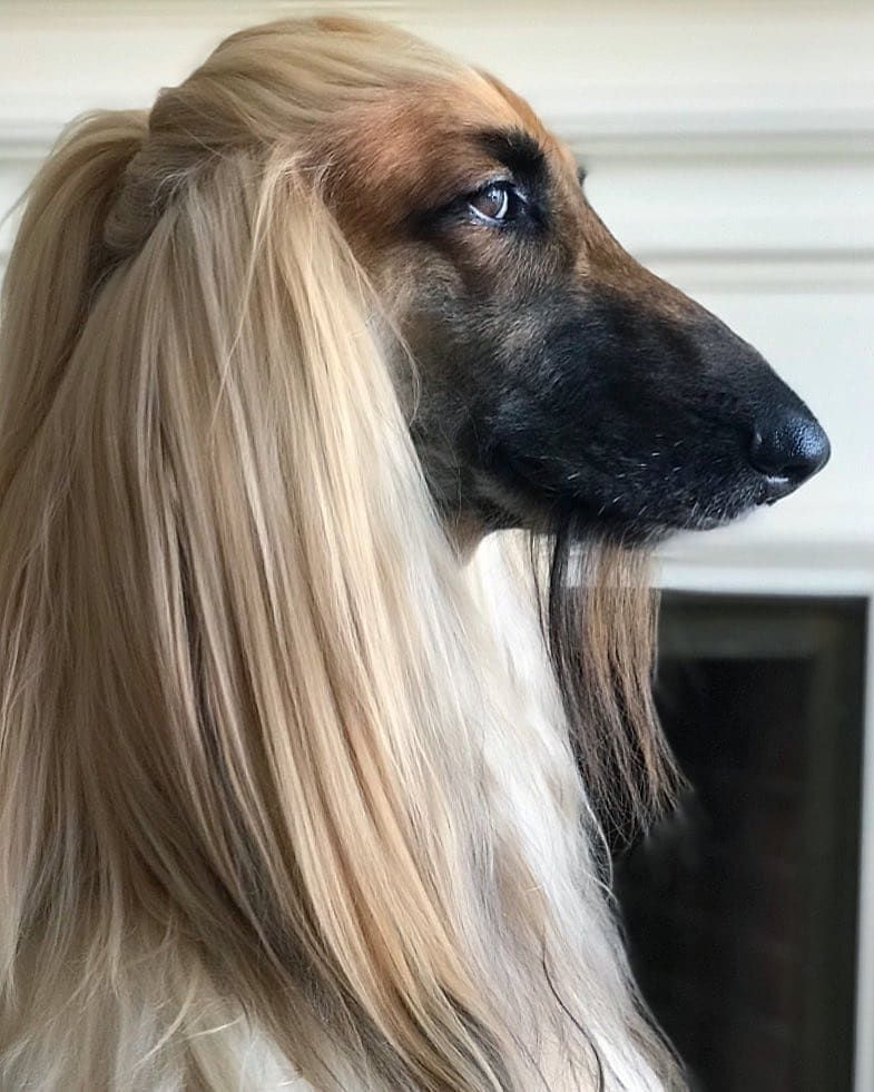 I Love Dogs Scary Dogs Afghan Hound Dog Grooming