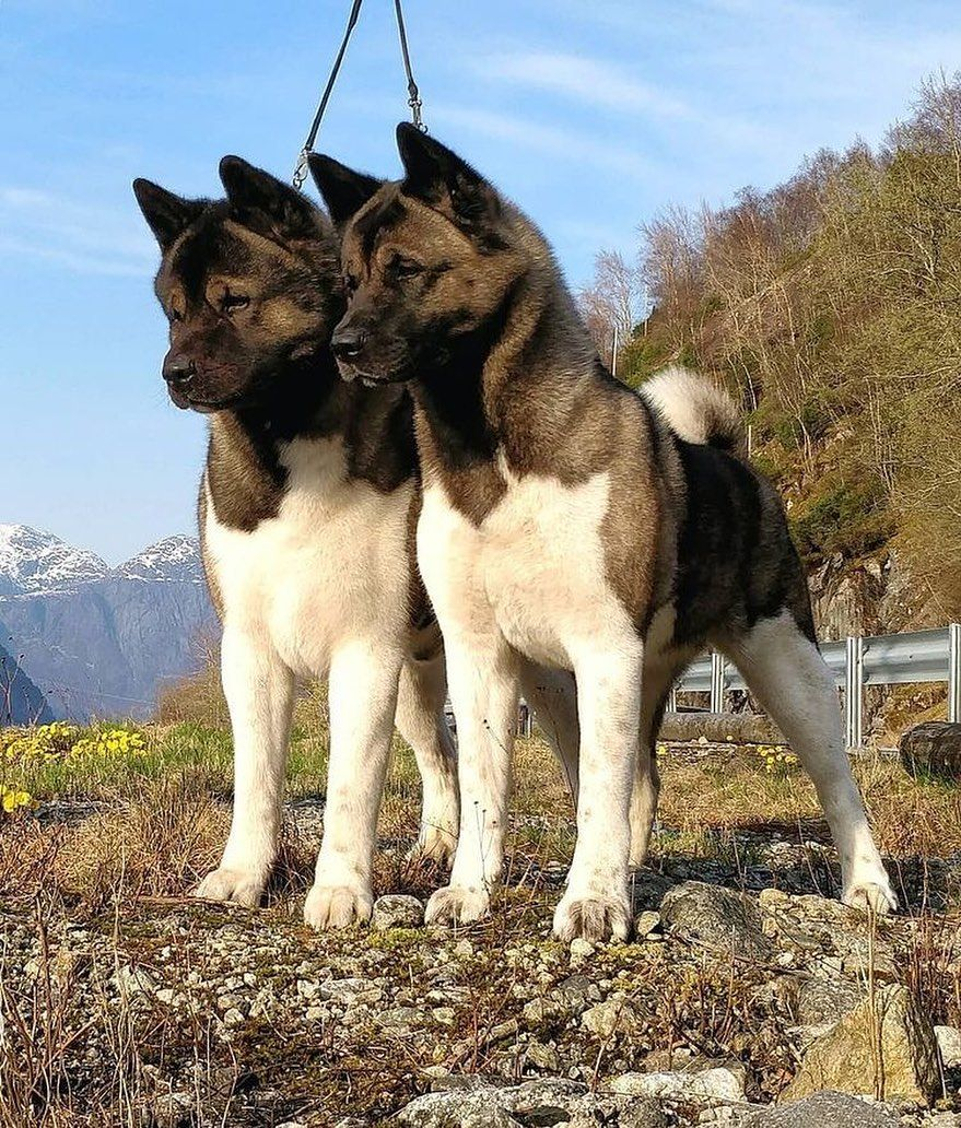 Pin Von Ca Gua Auf American Akita In 2020 Hund Bester Freund Akita Susse Tiere