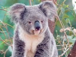koala - Buscar con Google
