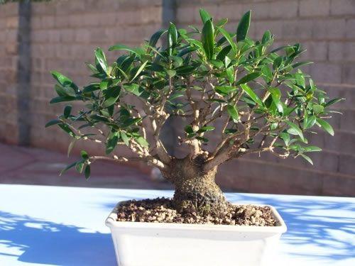 Cómo Hacer Tu Propio Bonsái Bonsai árboles Bonsai Jardinería