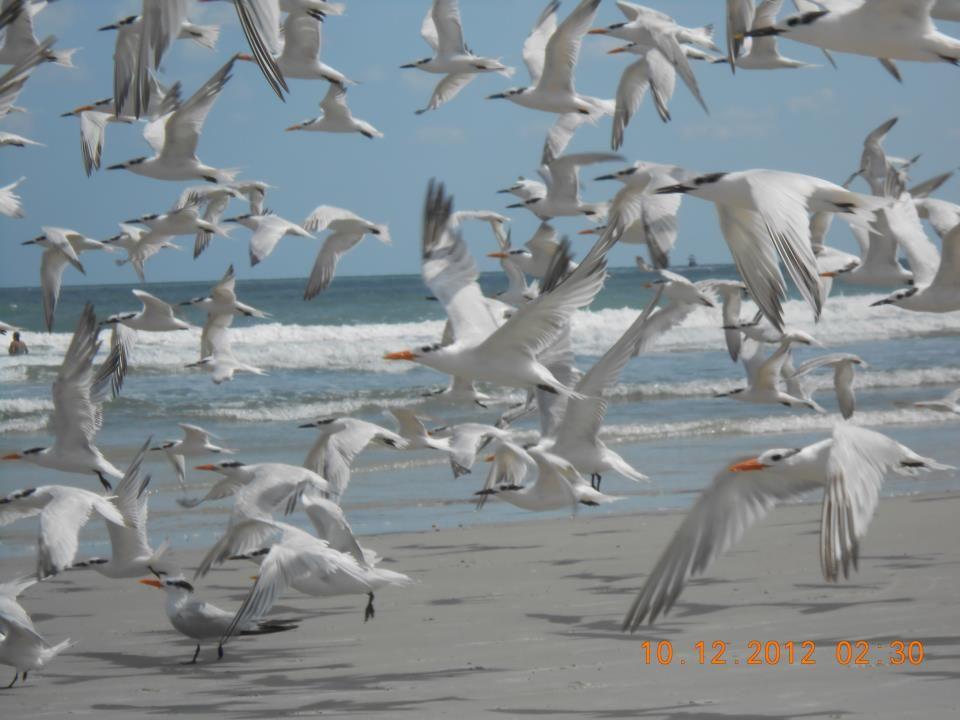 Seagulls In Flight At Cocoa Beach Fl