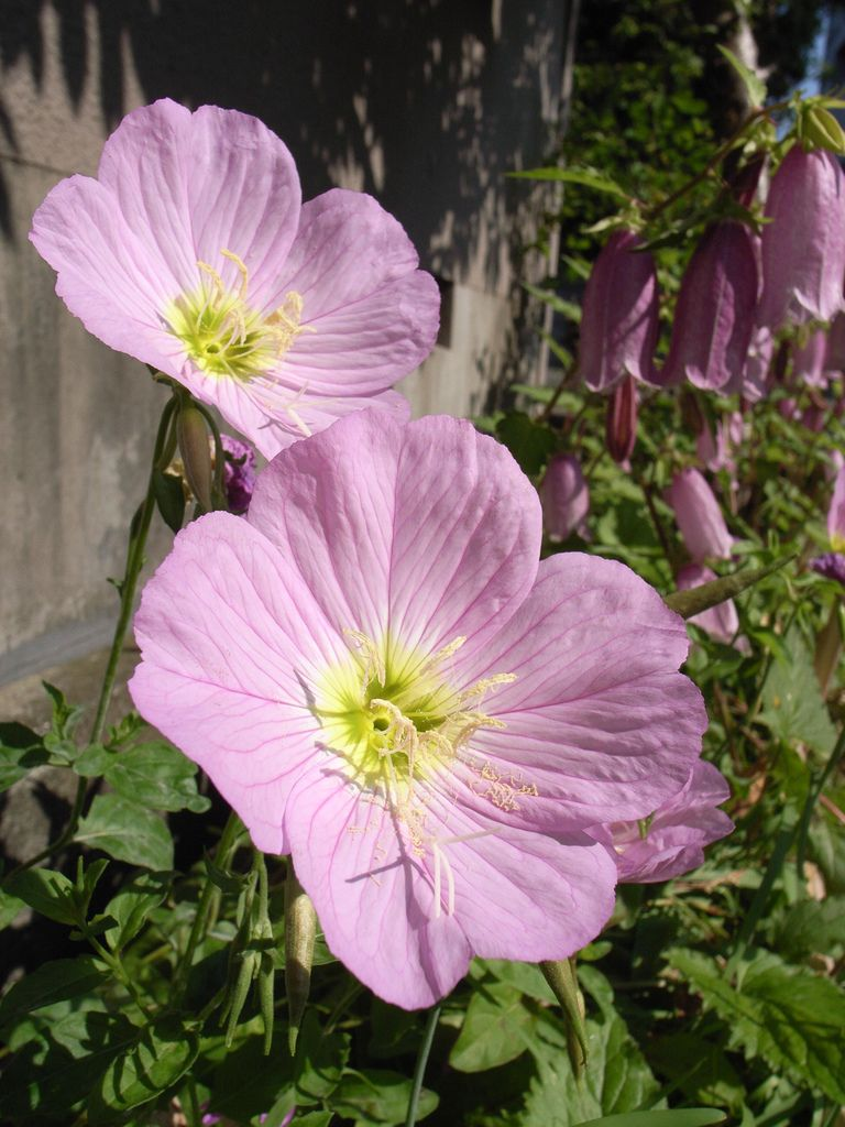 Pink Evening Primrose Oenothera Biennis I Have These Planted In My Front Yard It Is A Partial Shade Full Sun Area Three Years Ago And Has