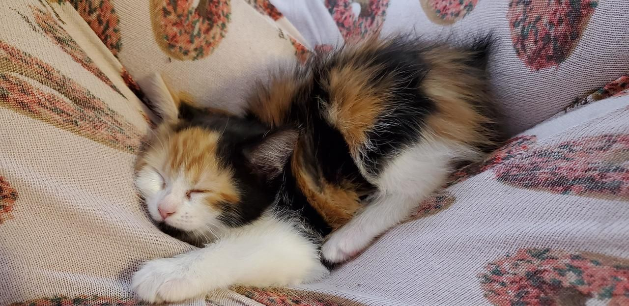 My New Calico Bobtail Kitten Curled Up In My Lap 6 Weeks Old Source Brandizzles83 On Catpictures Calico Kitten Kitten Cute Cats