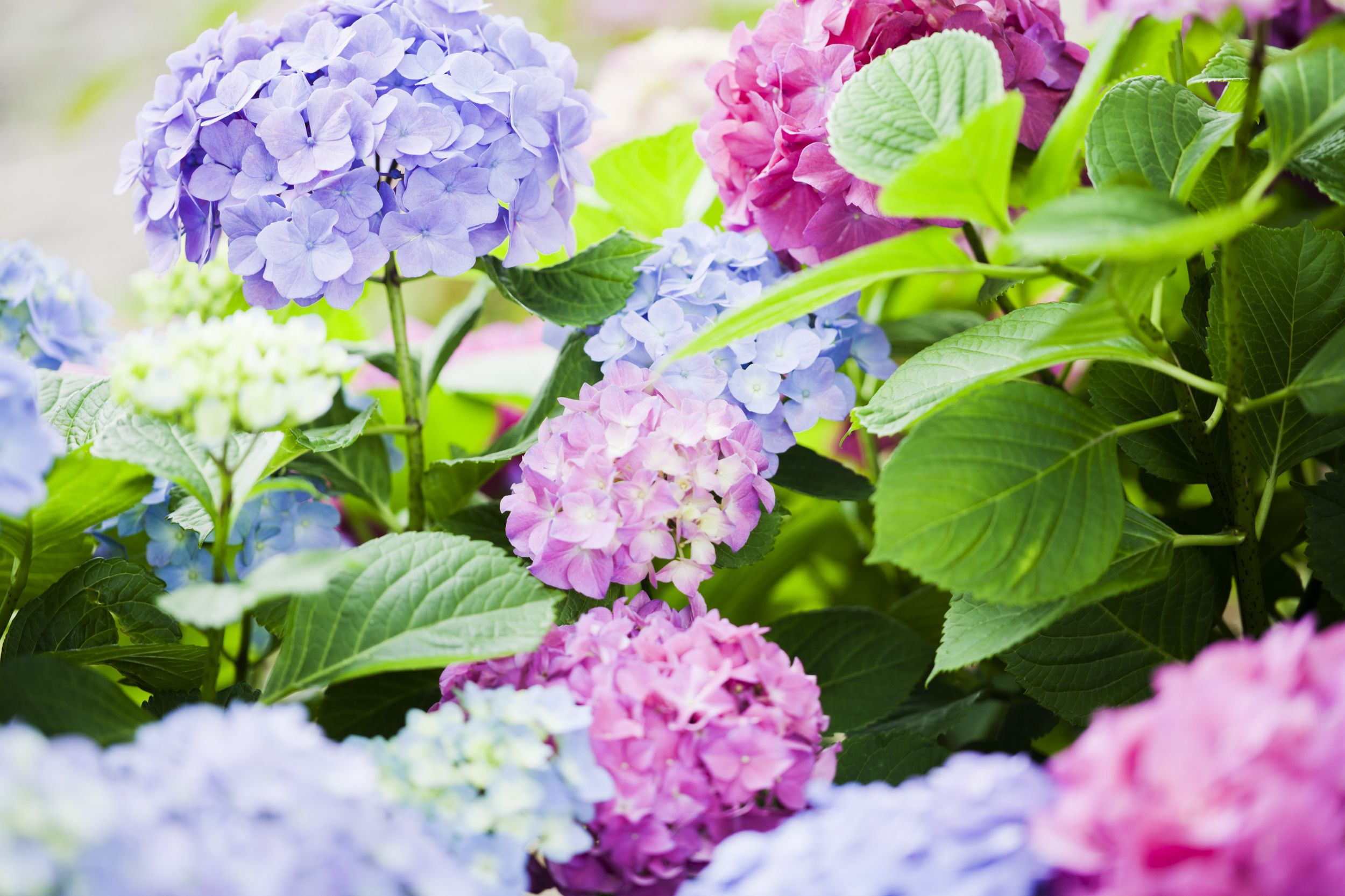 Meaning Behind Some Of The Most Popular Flowers Including The Dark Meaning Behind One Daffodil Growing Hydrangeas Hydrangea Colors Summer Hydrangeas