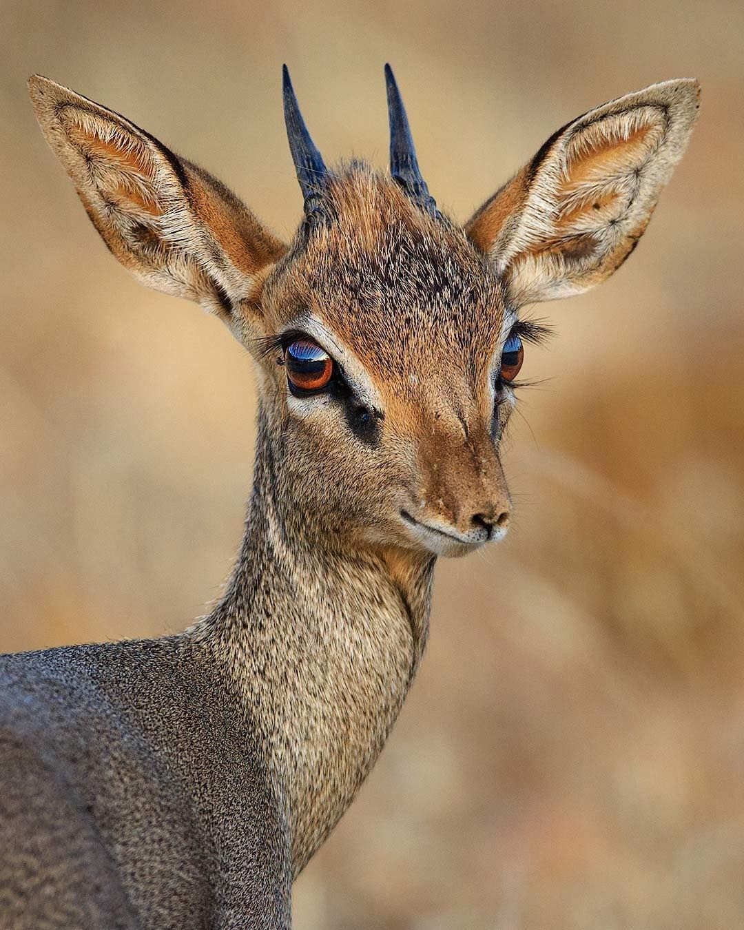 Image result for gazelles with ears out