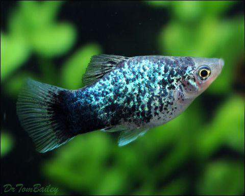 Aquariumfish Net Platy Fish Tropical Fish Aquarium Aquarium Fish