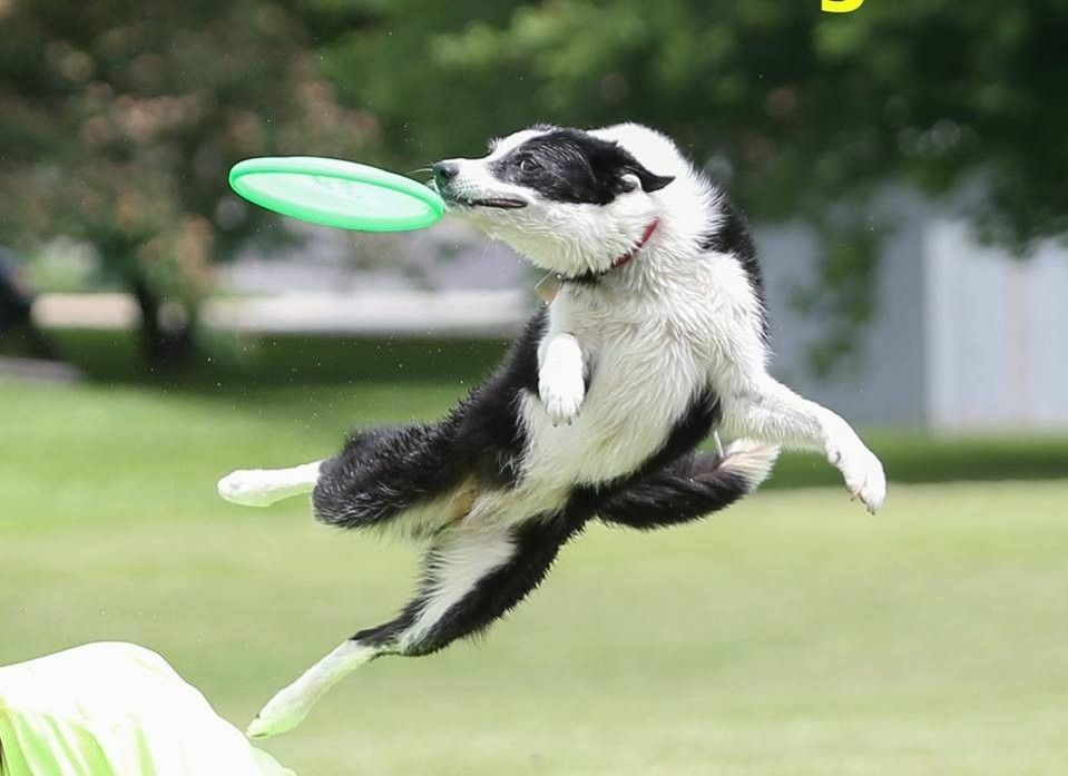 Black And White Border Collie Up In The Air Catching A