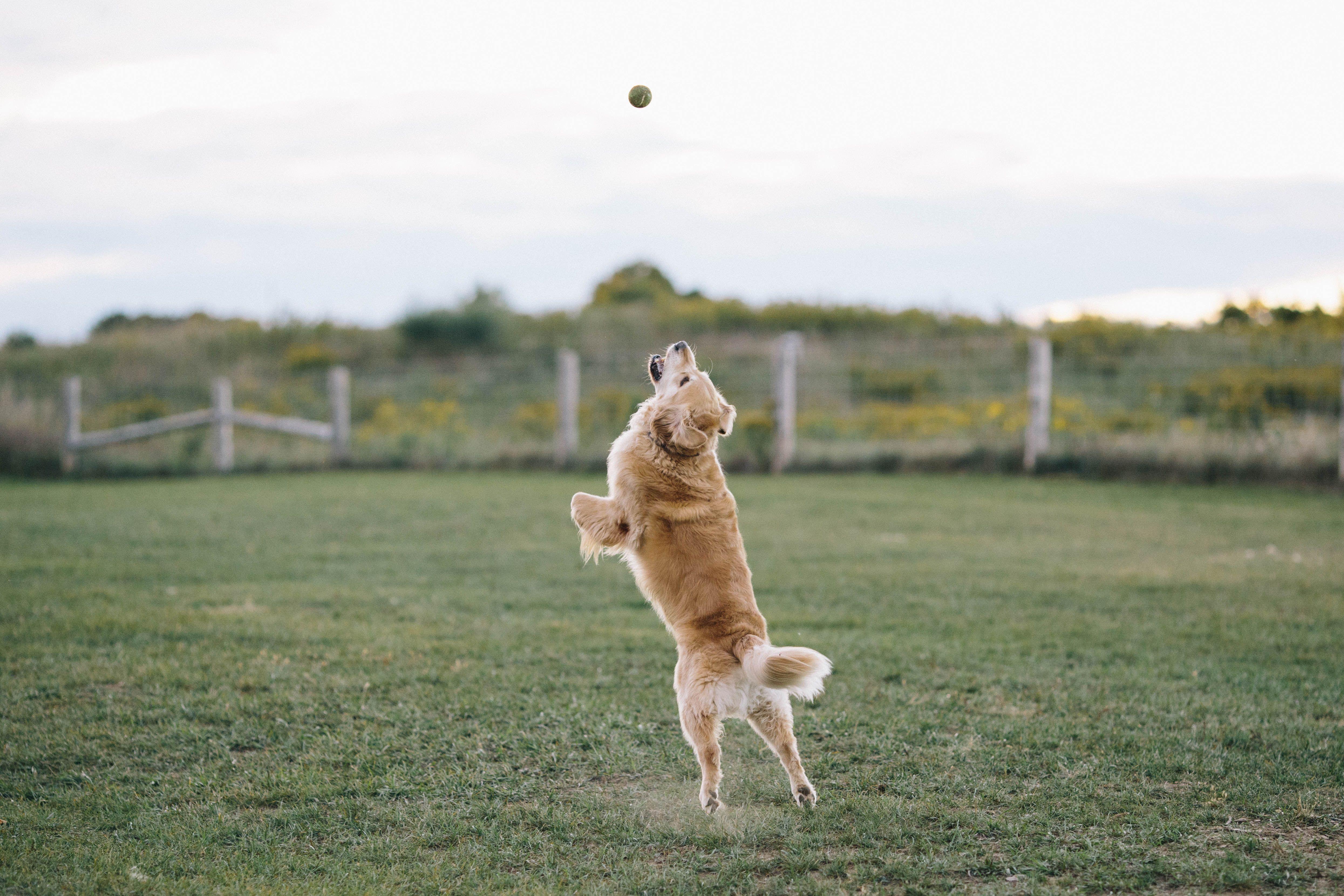 My Golden Retriever Jumping For A Ball Http Ift Tt 2duuneu Via