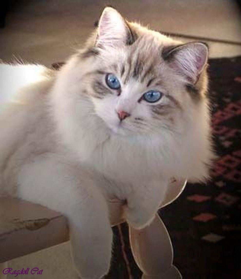 ragdoll cat bicolor ragdoll cat size red point ragdoll cat ...