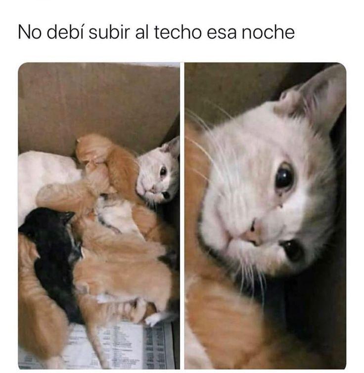 Memes Karen Gatos En Espanol Memes De Animales Divertidos Meme Gato Gatos