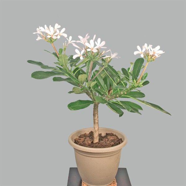 Plumeria \'Dwarf Singapore Pink\' (Plumeria obtusa) - Fragrant Plants ...