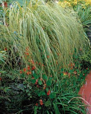 Common Ornamental Grasses Gold band pampas grass cortaderia selloana this clumping heat gold band pampas grass 9 new and unusual grasses workwithnaturefo