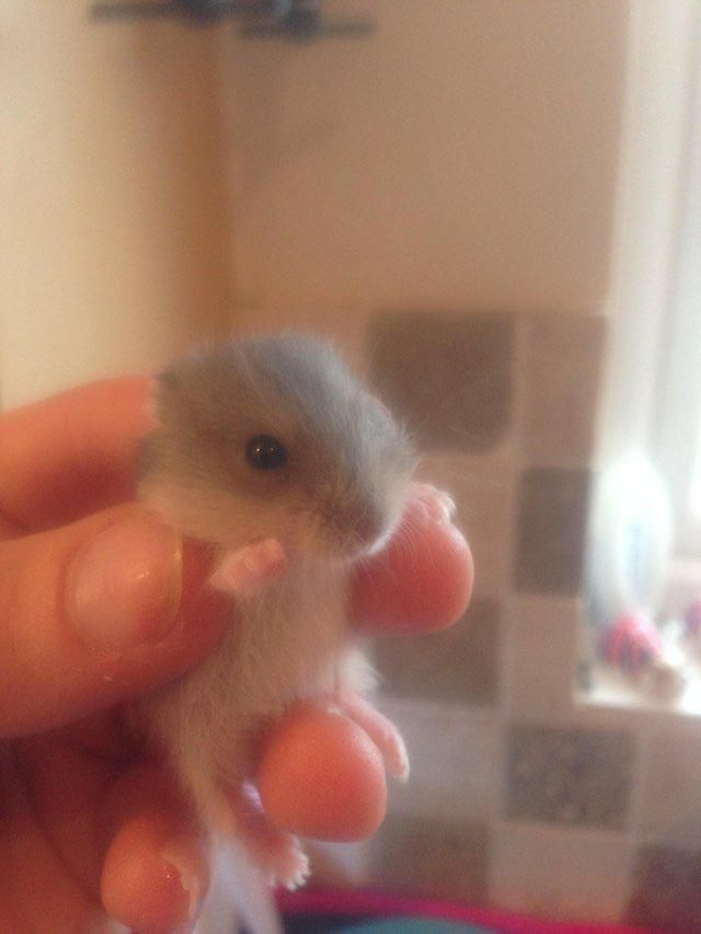 Baby Russian Dwarf And Winter Whites For Sale Hamsters For Sale Dwarf Hamsters For Sale Dwarf Hamster