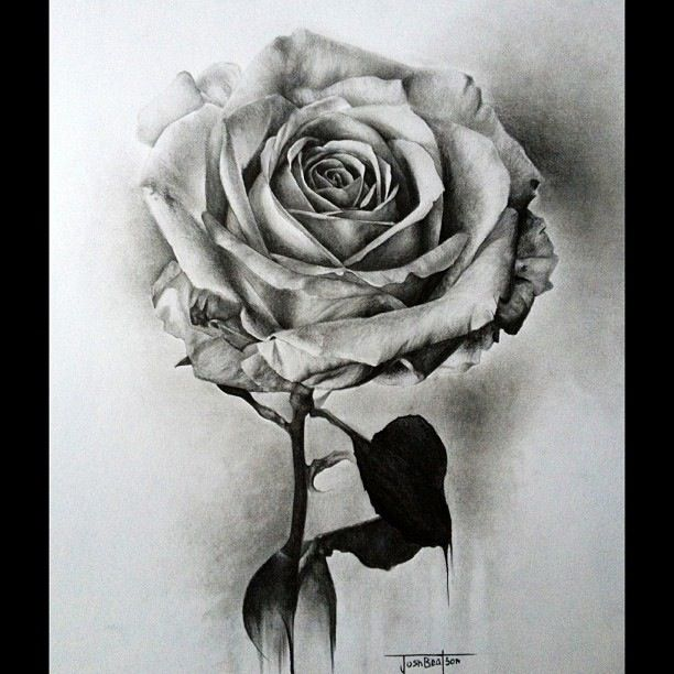 Black and white rose pencil sketch josh beatson