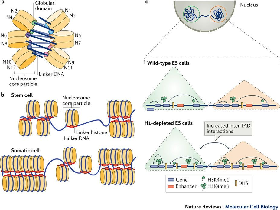 Figure 3 Roles Of Linker Histones In Chromatin Folding From Emerging Roles Of Linker Histones In Regulating Chromatin St Somatic Cell Molecular Cell Biology