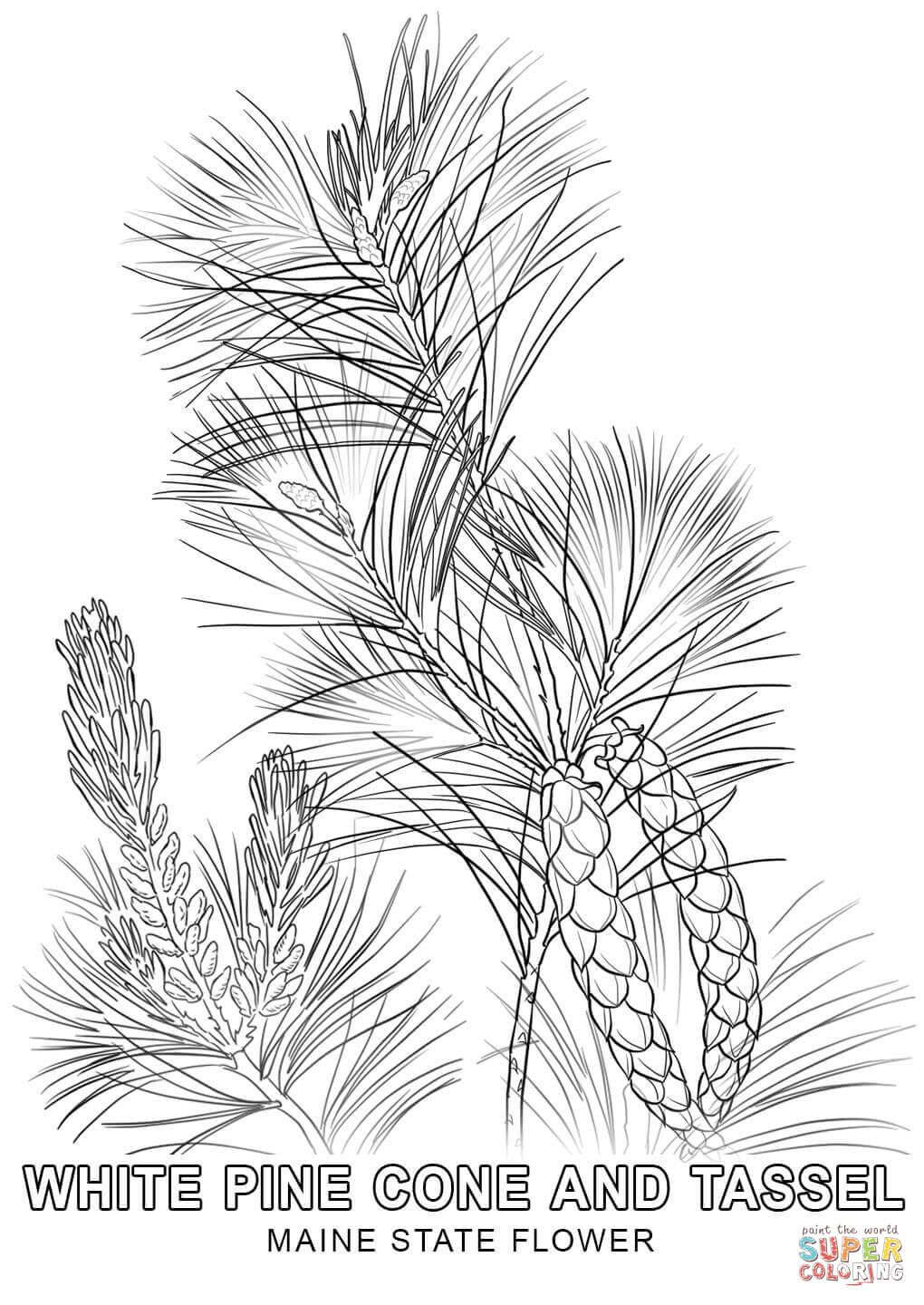Maine State Flower Coloring Page