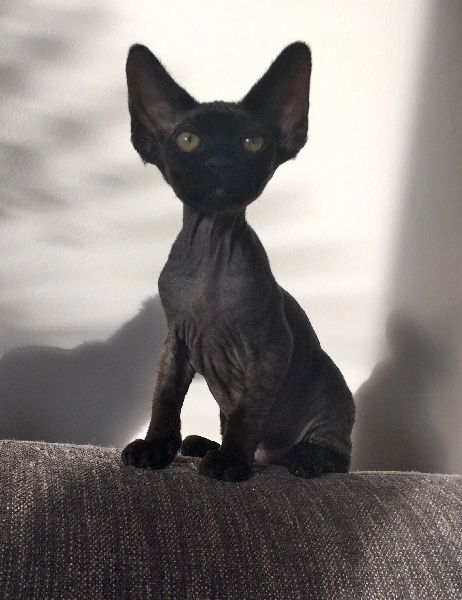 Lucifer lucius de la douceur de vivre devon rex chat - Chaton devon rex ...
