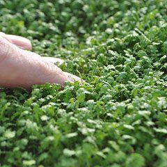 Leptinella Gruveri Fairy Fern Brass Buttons Garden Statues Miniature Plants Ferns