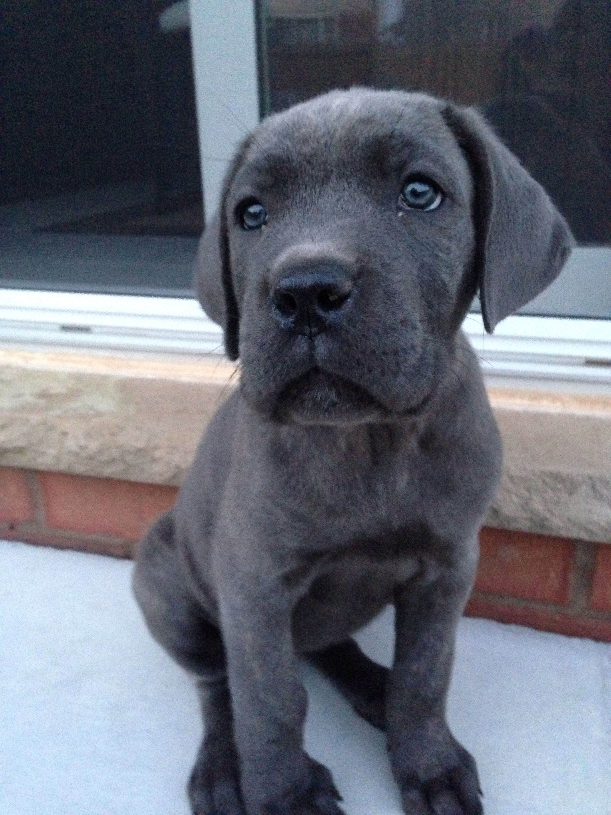 Cici 8 Weeks Old Cane Corso Italian Mastiff Puppy My Baby Is