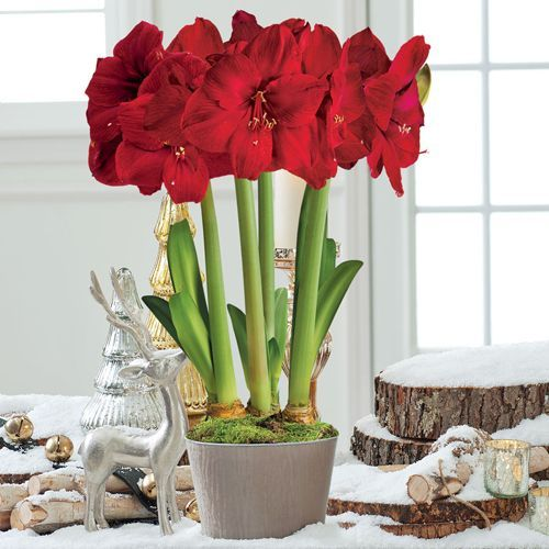 Grand Trumpet® Royal Velvet Amaryllis Triple: Exquisite Trumpet Form and Burgundy Color - Stately blooms with wide, overlapping petals are saturated with rich red tones. Pair the flowers with the Moire Silk fabric container, and you have one truly classy gift! The silky grey cachepot and velvety Burgundy blooms create a luxurious combination worthy of royalty!