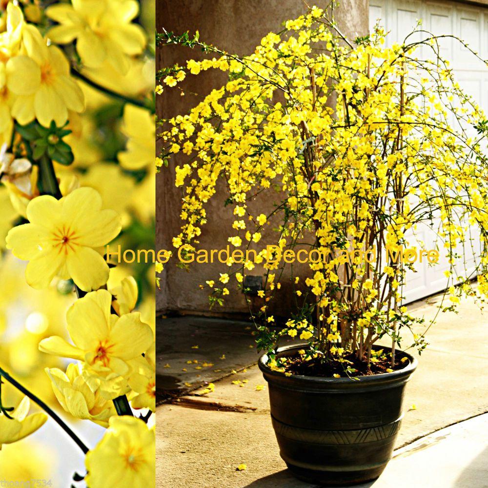 Chinese Yellow Flowers Winter Jasmine Jasminum Nudiflorum Rooted