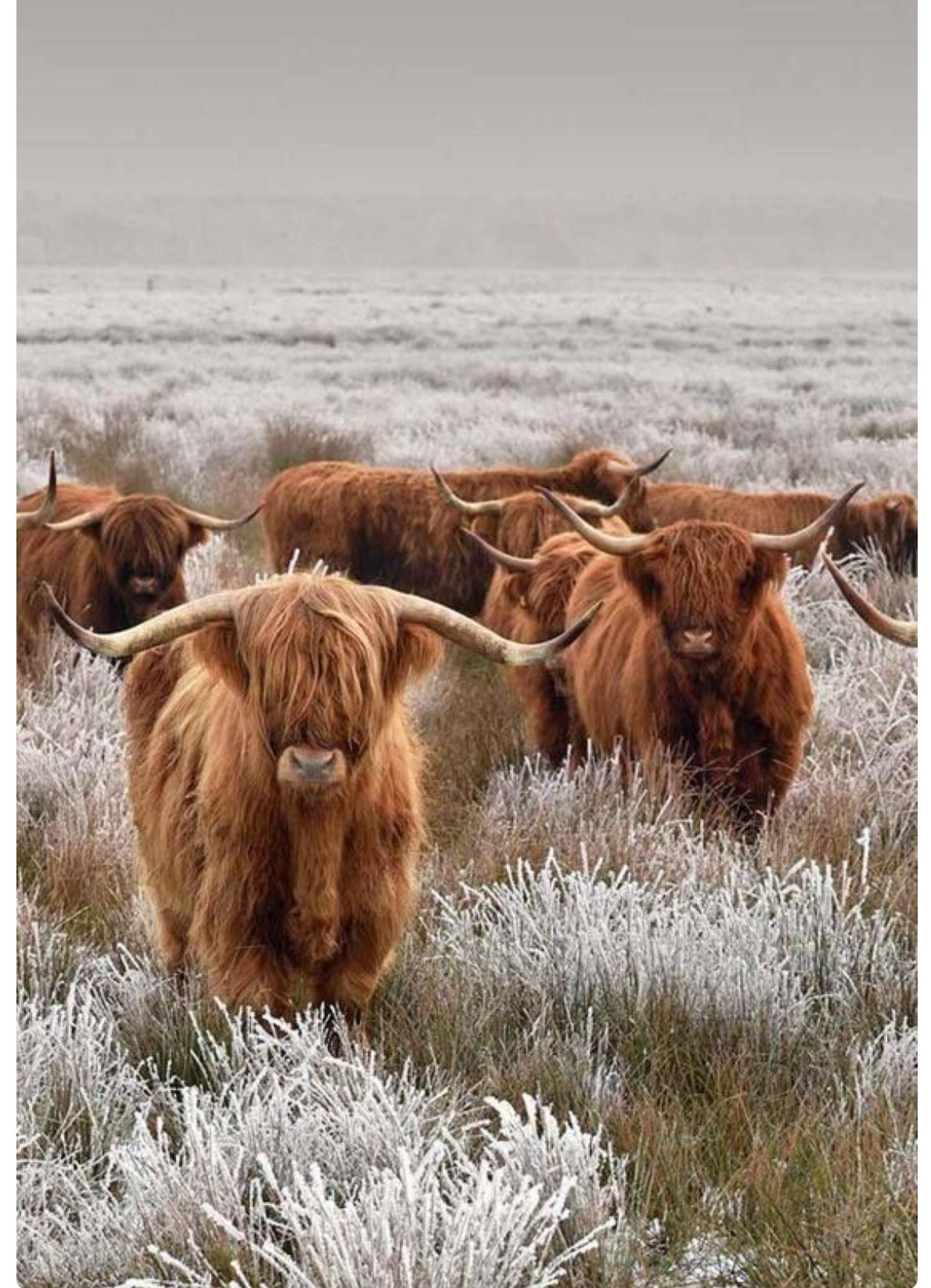 A herd of (wee coos) shaggy Highland cows. So cute ...