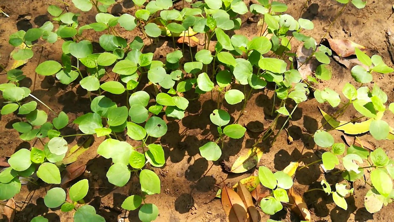Gongura Rosella Seedlings Trees To Plant Seedlings Different