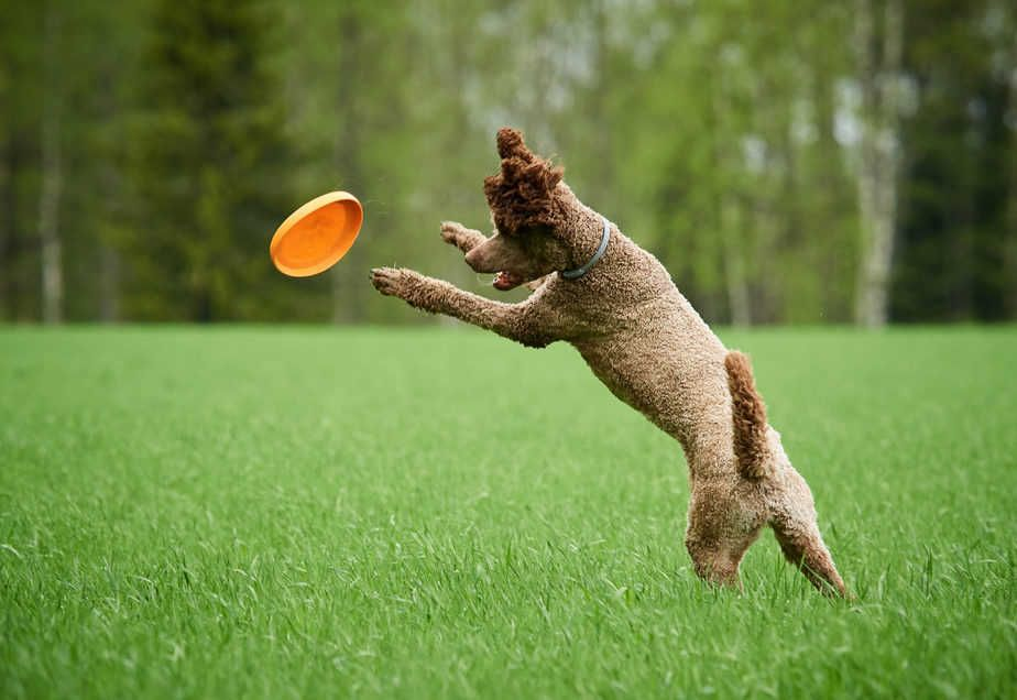 Interactive Dog Toys Exercise The Best Toys For Poodles: A Complete Guide | Poodle Report