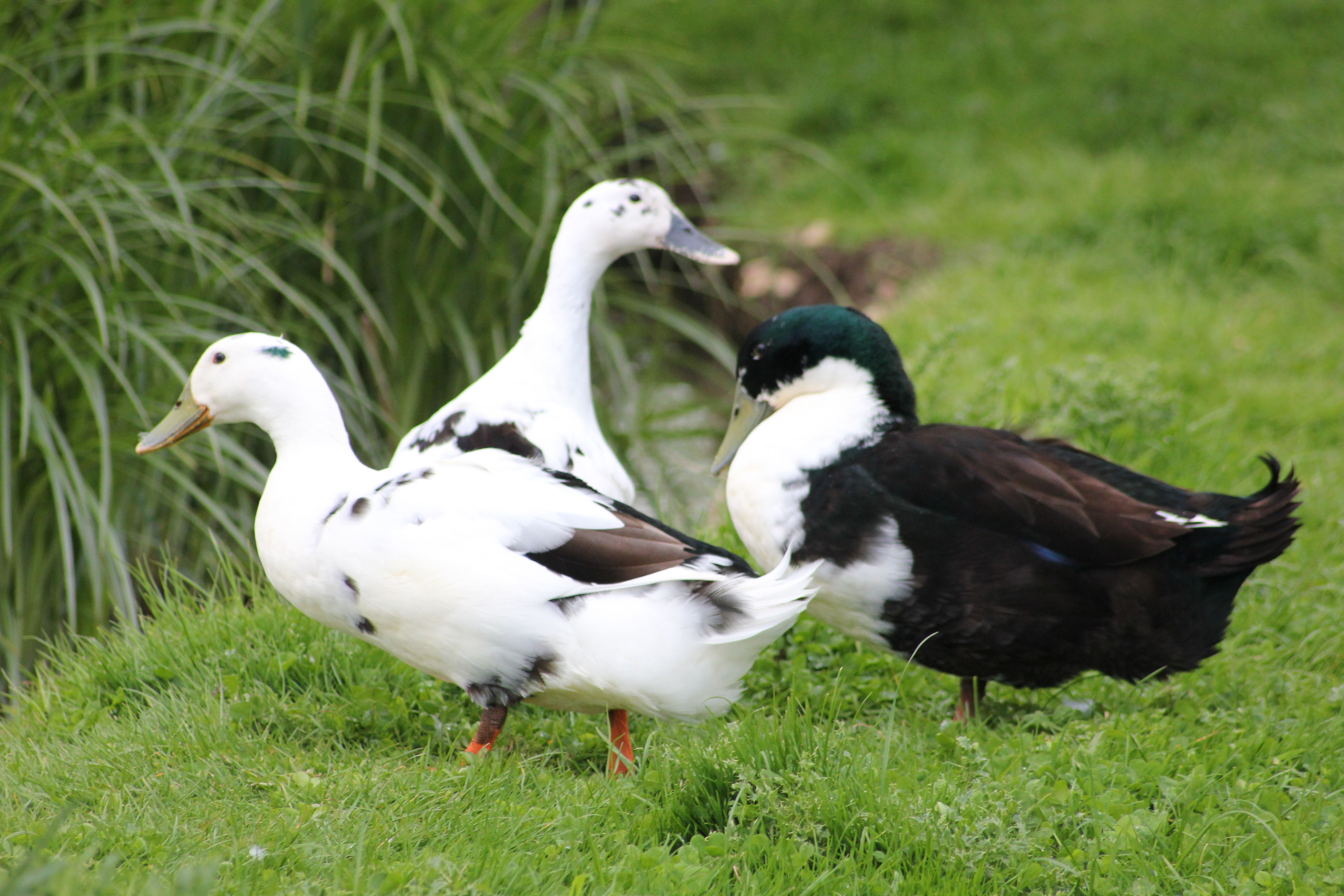 Today Is What I Call Duck Weather In Dorset Sunshine For Snoozing Rain For Swimming In The Pond The Fsf Ducks Love It