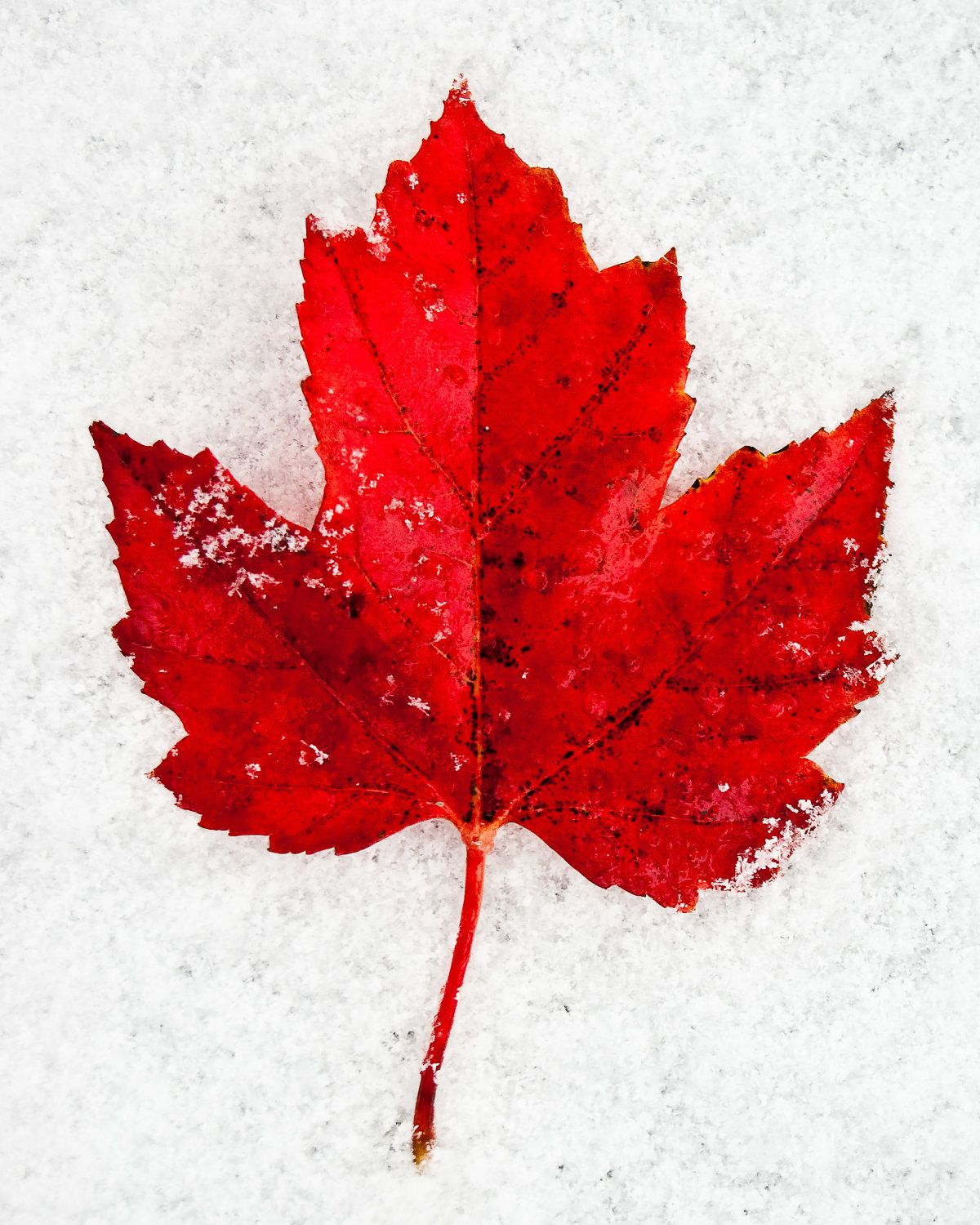 red maple leaf on red autumn leaf in the snow 8 x 10 photography art print 25 00 via etsy maple tree tattoos autumn leaves leaf photography maple tree tattoos autumn leaves