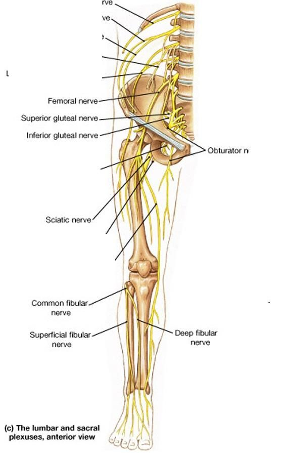 Pin By M S On NEURO Nervous System Youngstown State Muscle