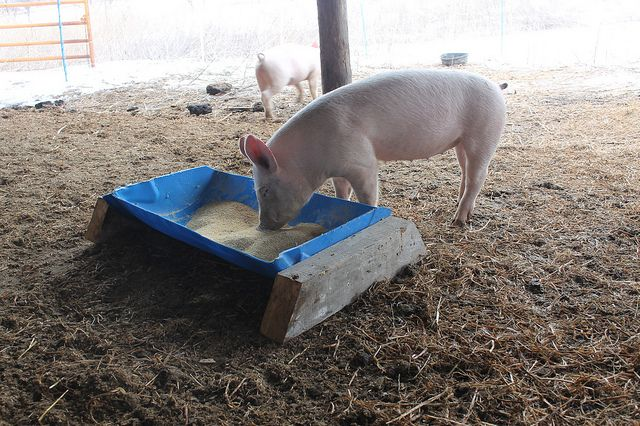 94fa52843863 A trough for the pigs | Farm Plans | Pig farming, Pig breeds, Hog farm