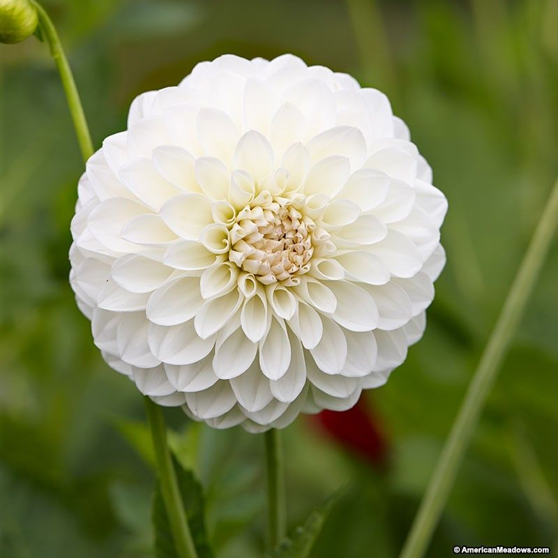 Boom Boom White Ball Dahlia Beauty Dahlia Flowers Bulb Flowers