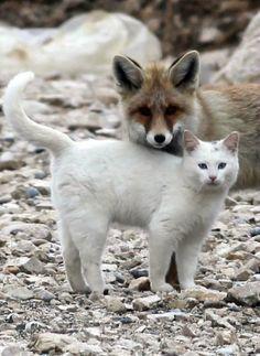 Cat from Lake Van {Turkey}