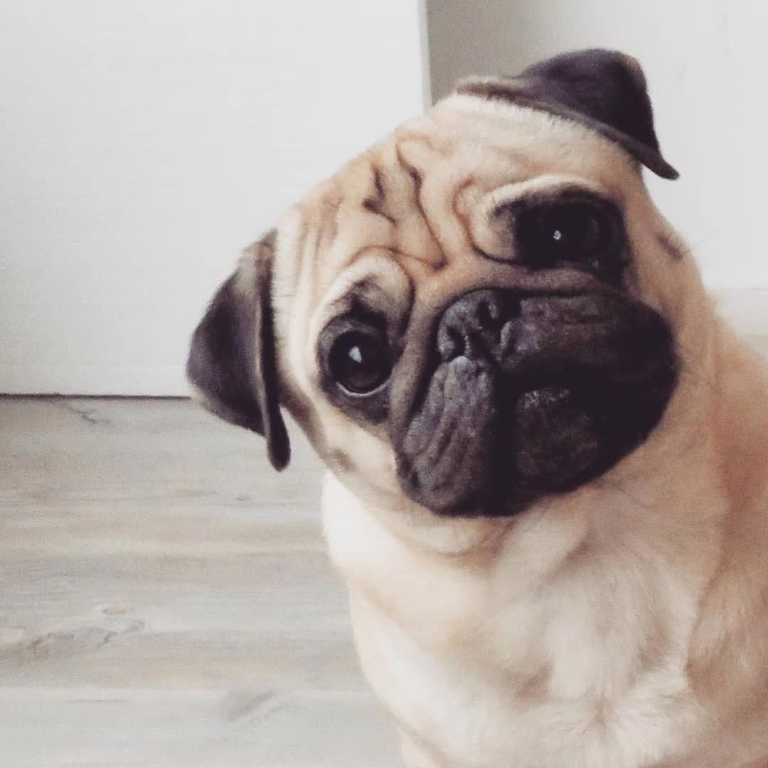 I Could Stare At My Humans All Day Long Bertje Cutepugs